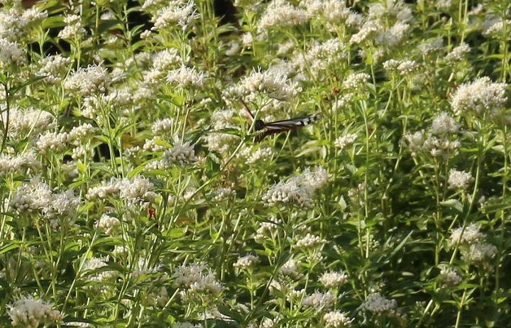 浅葱斑花の中も飛びます 30 10 21