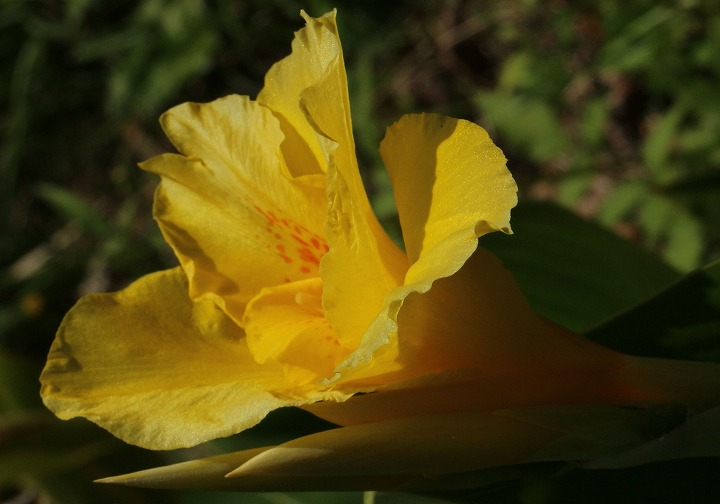 カンナ黄色寒くなったけど咲いてる 30 10 22