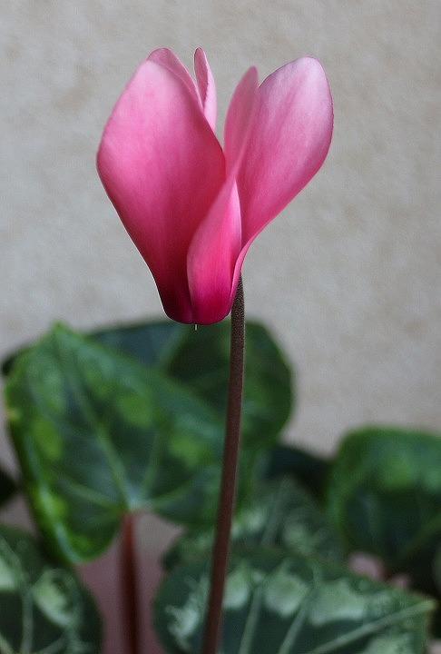 シクラメンの花去年の 30 11 1