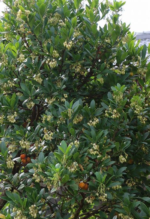 花が一杯咲いてる苺の木 30 11 4