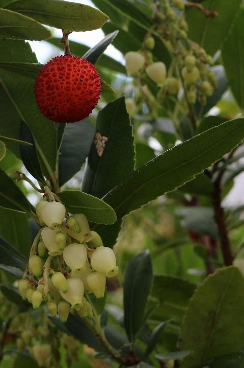 赤い実と白い花 苺の木 30 11 4