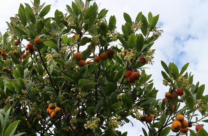 白花姫苺の木に実と花と 30 11 4