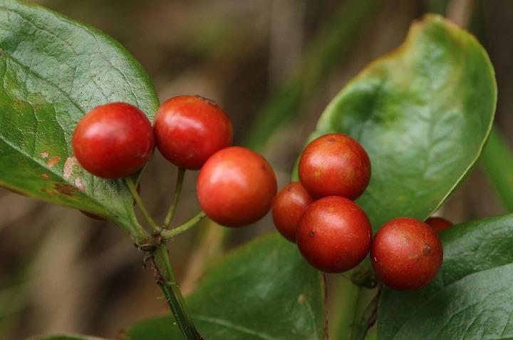 サルトリイバラの赤い実 30 10 31