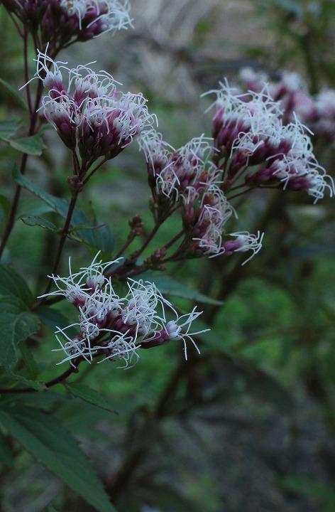 藤袴のある花壇 藤色 30 11 8