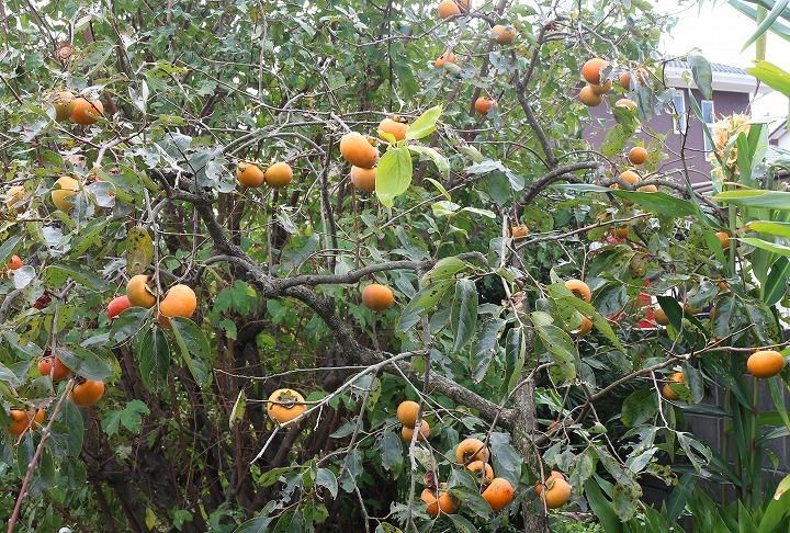 柿 実 うちの庭 30 11 9