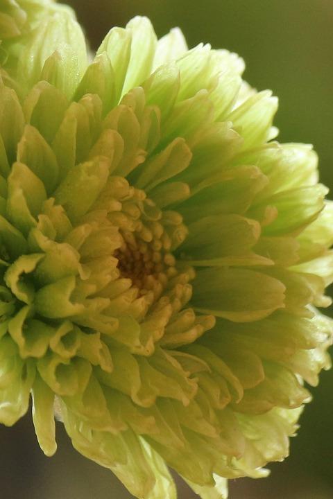 黄緑色の菊 文化祭の日花瓶に 30 11 11