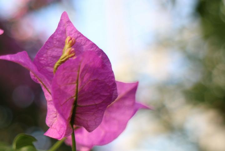 上向きに咲くブーゲンビリア 30 11 10