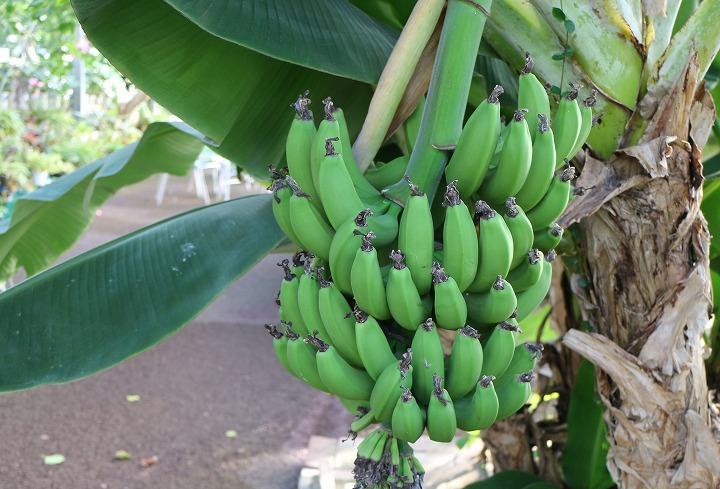 バナナ 30 11 10