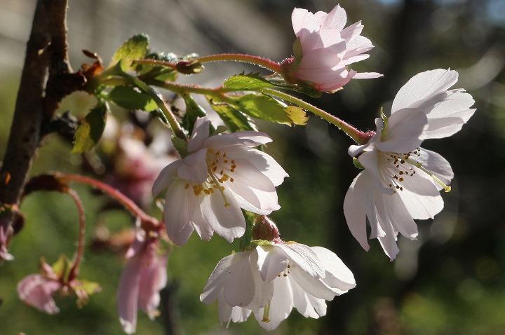 花がいっぱい 十月桜 30 11 15