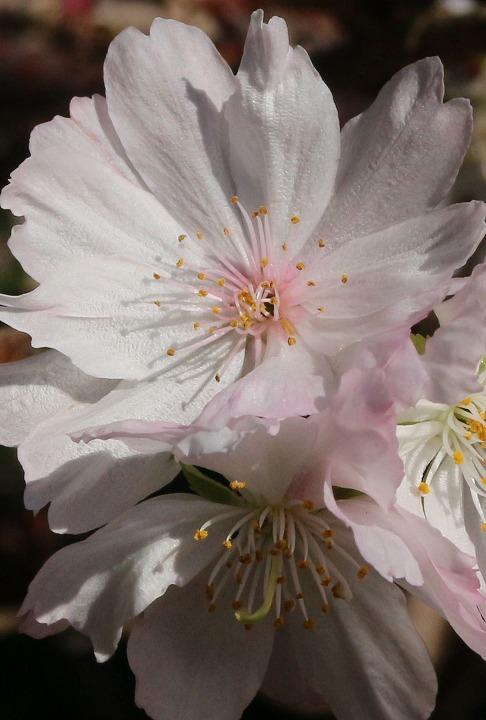 十月桜 集まって咲く 30 11 15