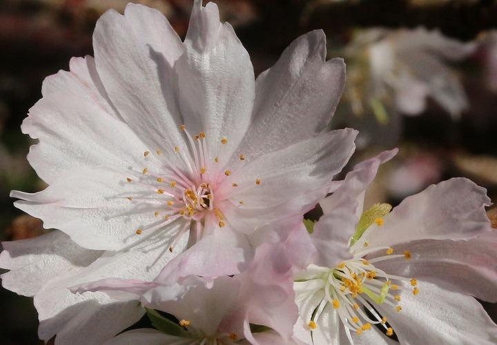 十月桜 花大きくアップで切取り 30 11 15