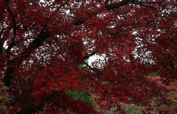 真っ赤な楓もある 30 11 16