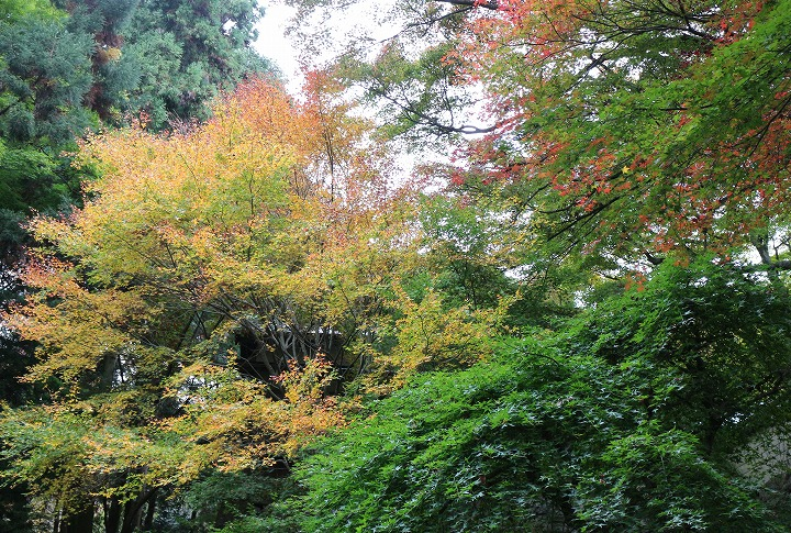 黄緑が綺麗な紅葉初めの楓も 30 11 16