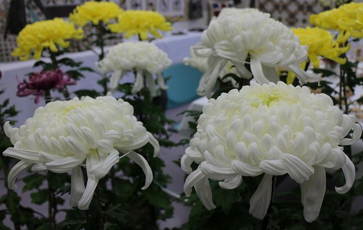 菊の花 財田町で 30 10 27