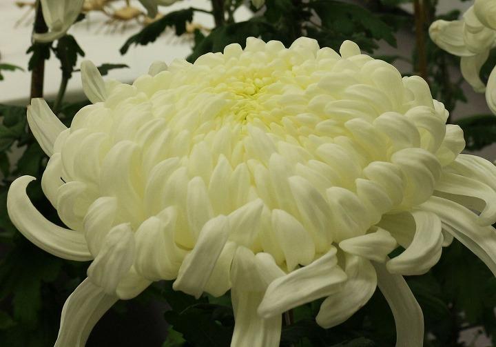 大輪の菊の花 白色 財田町 30 10 27