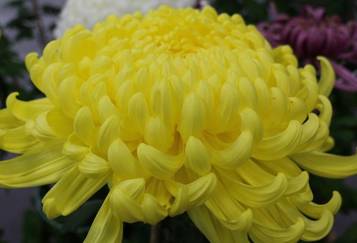 菊の花 黄色 財田文化祭で 30 10 27