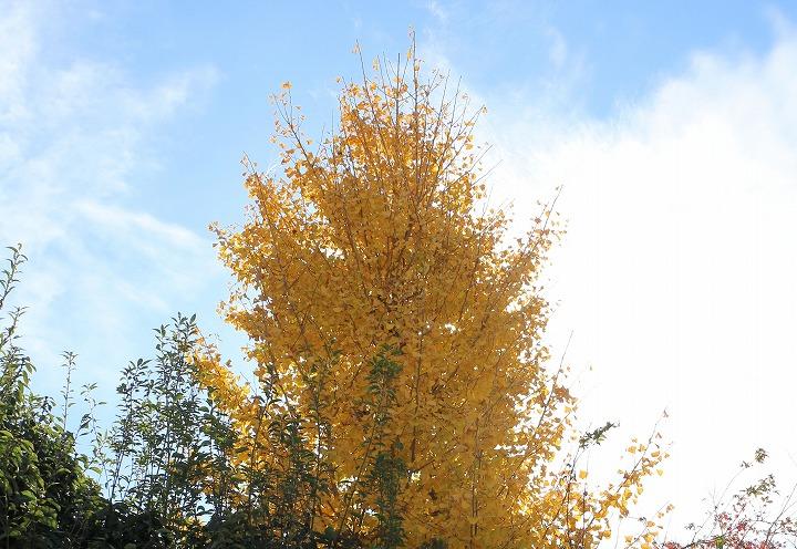 大坊寺の銀杏の木 30 11 16