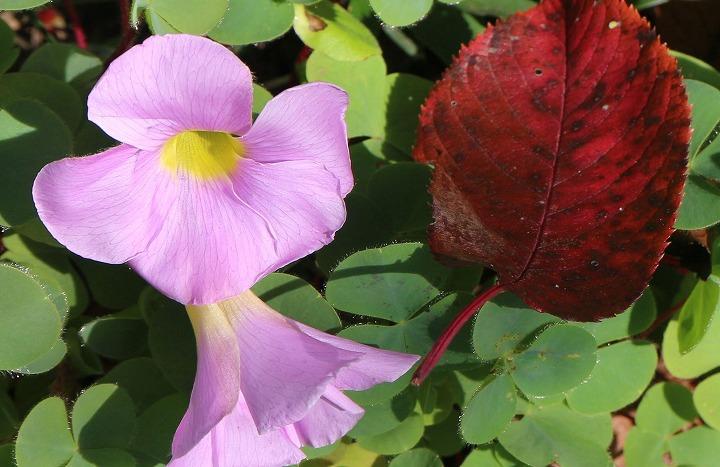 桜紅葉と芙蓉酢漿草と 30 11 21