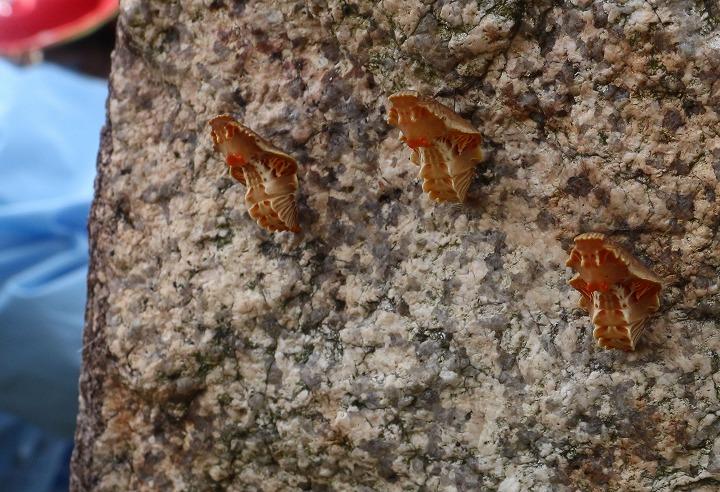 ジャコウアゲハの蛹 30 11 27