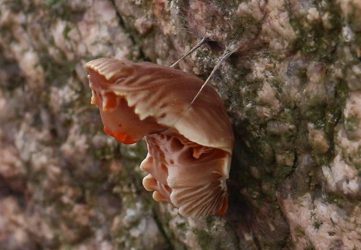 ジャコウアゲハの蛹横に 石に 30 11 27