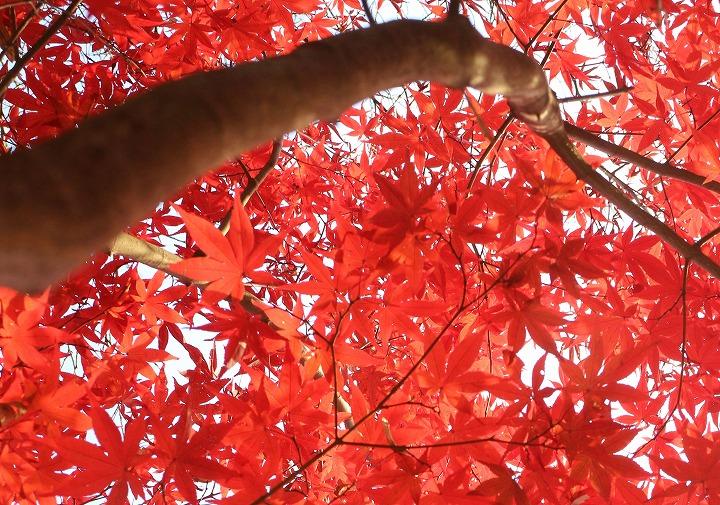 爺神山大師堂前の楓の木 30 11 29
