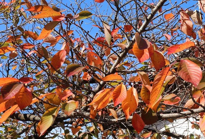 大坊寺の桜の紅葉 30 11 23