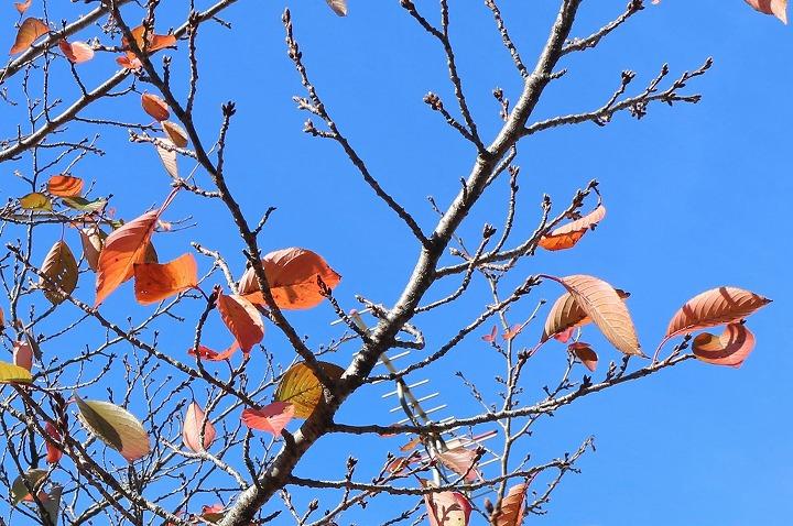 桜紅葉も散りました 30 11 23