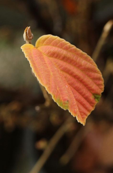 マンサクの葉の紅葉 岡山 30 12 6
