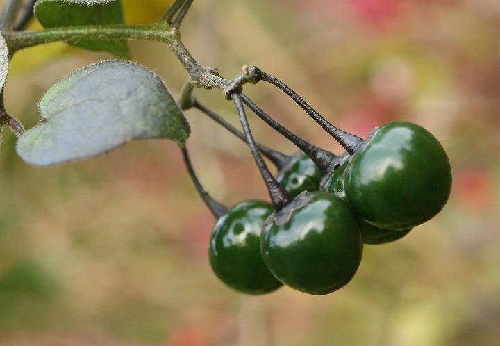 ヒヨドリジョウゴの緑の実 爺神山 30 12 5