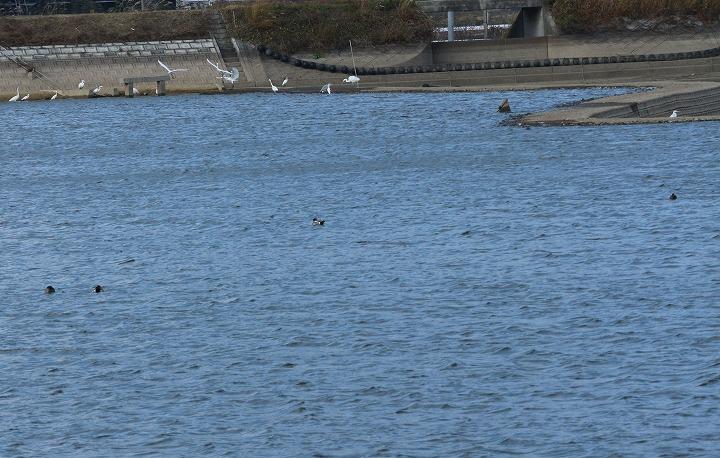 左の方に白い鳥と鴨 30 12 19