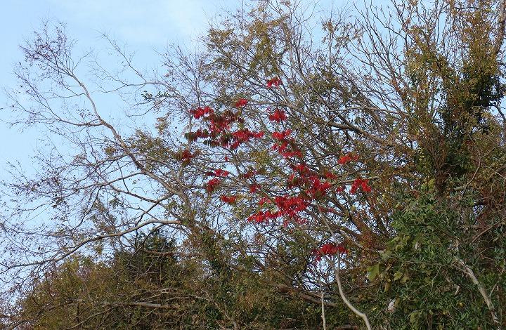 ハゼノキ 紅い葉 30 12 24