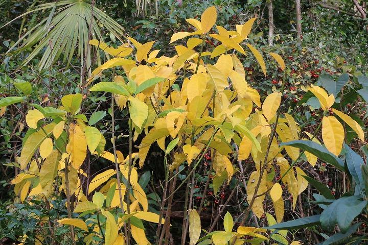 イヌビワの木 黄色い葉 30 12 24