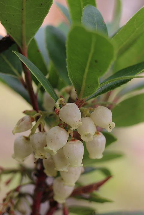 苺の木の花 30 12 24