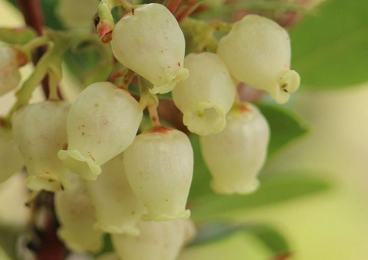 苺の木の白い花 30 12 24