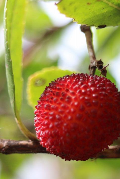 まだしがみついてる苺の木の実 30 12 24