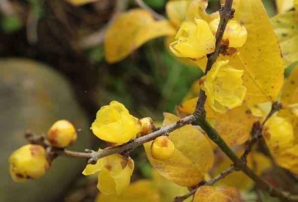 蠟梅の香りが 30 12 27