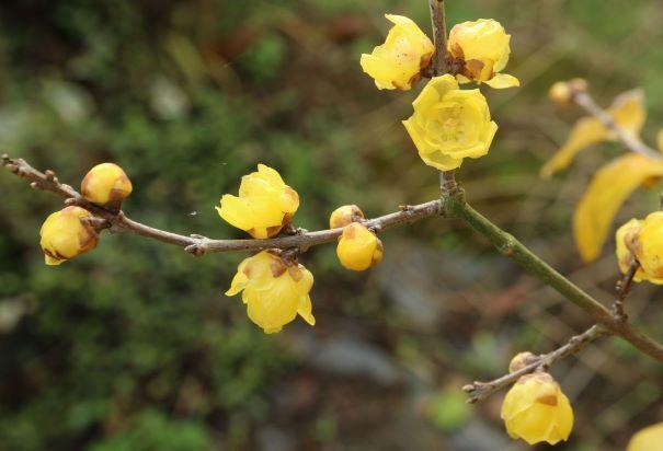 蠟梅の葉を落としてみました 30 12 27