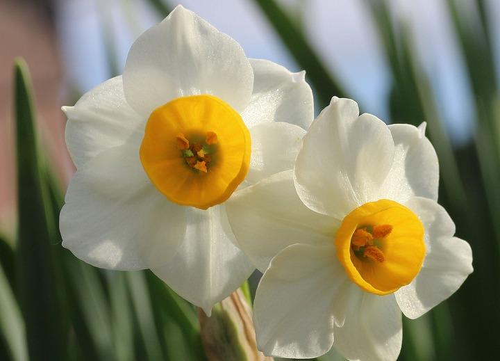 スイセンの花並んで 30 12 29