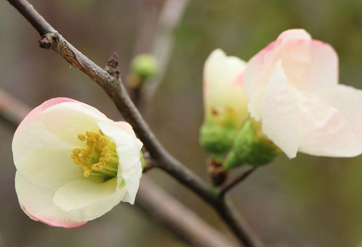 白色ボケの花 31 1 2