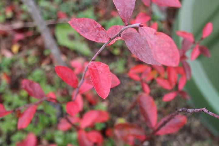 ブルーベリーの紅葉 31 1 4