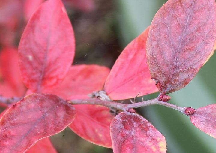ブルーベリーの真っ赤な葉 31 1 4