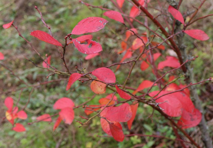 ブルーベリーの赤い葉が目立ってる 31 1 4