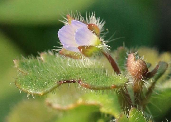 フラサバソウの花 31 1 10