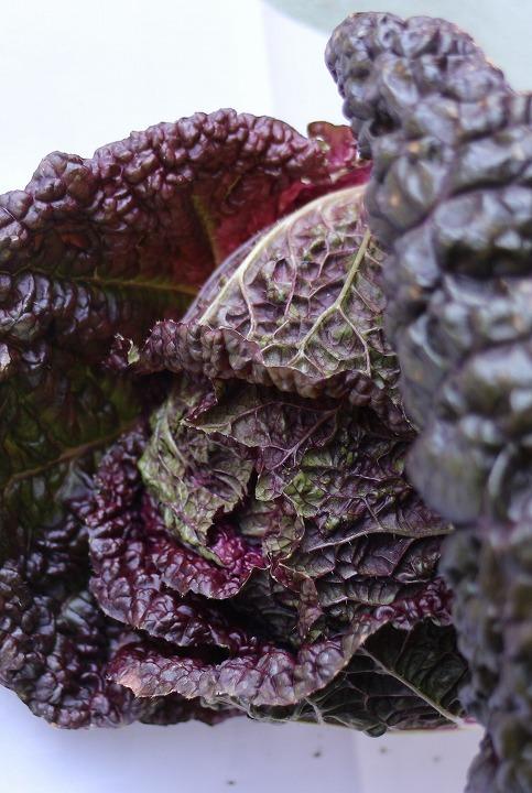 紫白菜 31 1 11