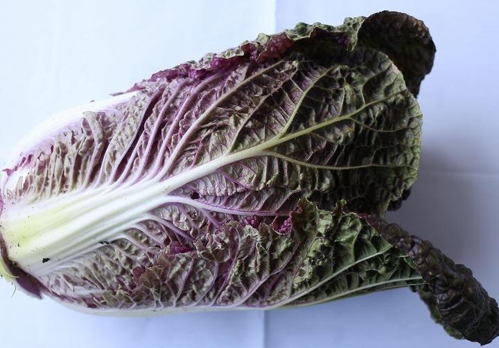 紫白菜横から撮る 31 1 11