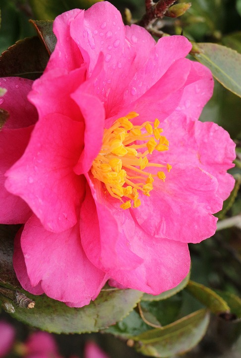 山茶花の花縦に 31 1 17