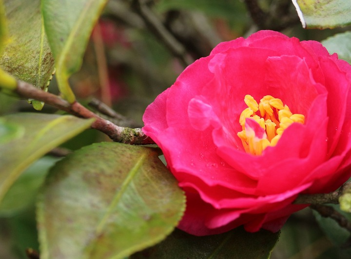 山茶花の葉寒さにやられて 31 1 17