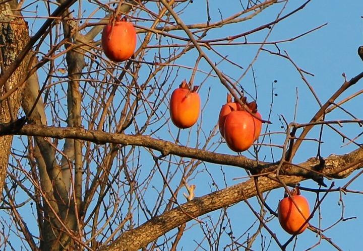 まだ柿の実があります 稲積大社 31 1 17