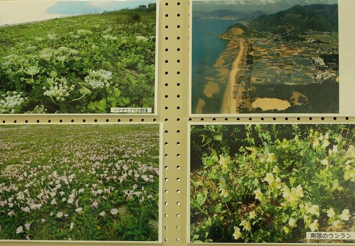 有明浜海浜植物 31 1 20