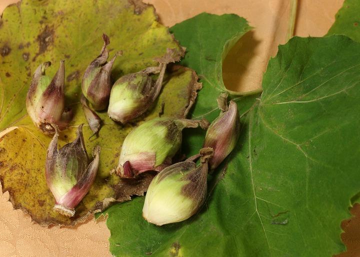 蕗の薹とフキの葉 31 1 20
